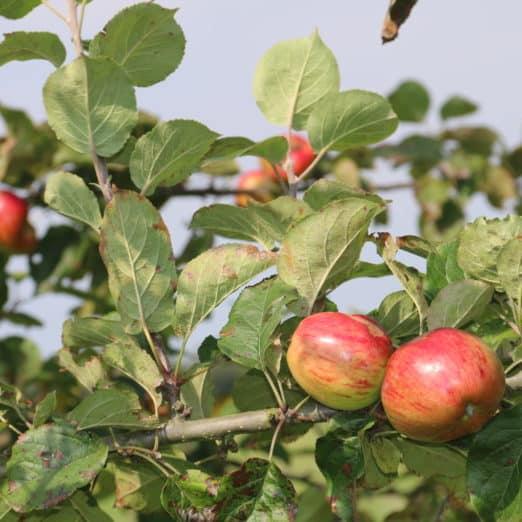salg af æbletræer